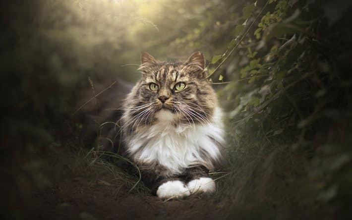 Norveç Orman Kedisi Özellikleri Nelerdir?